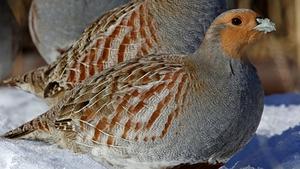 Wild grey partridges were declared extinct in Northern Ireland in 1992