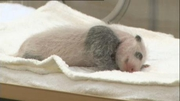 RTÉ News: Crowds gather to see twin panda cubs in Japan