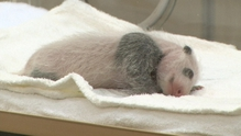 One of the twin pandas that were born on 2 December in Adventure World in Shirahama
