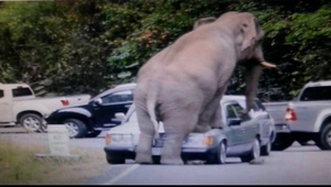 The elephant put its front feet on a car, causing a dent on the car hood and fractures on the windscreen