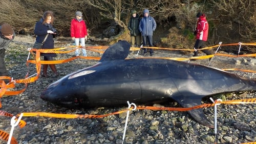 It is believed the orca was already dead before it washed up on the shore on Friday (Pic: Tina Schley)