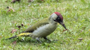 The image of the woodpecker was taken by an amateur photographer