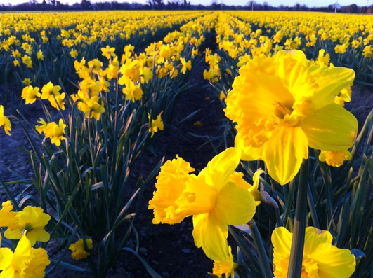 Daffodil Farm