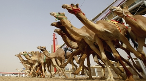 A general view of the action as camels race during Al Marmoom Heritage Festival at the Al Marmoom Camel Racetrack