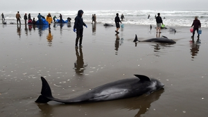 Several of the melon-headed whales had been badly cut