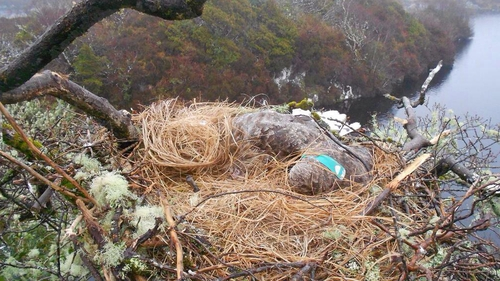 The female eagle was released in Killarney National Park in 2009 (Pic: Dermot Breen, National Parks & Wildlife Service)