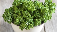 Curly Kale  - Kale is another of those vegetables that is not regarded as being glamorous, but wh