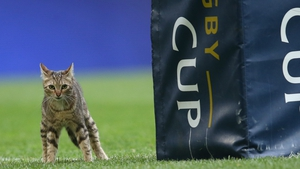 This cat threatened to steal the show during the Toulon v Leinster game on Sunday