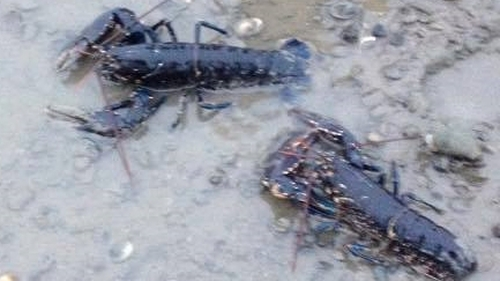 The group released the lobsters into the sea in Clontarf (pic: NARA-Facebook)