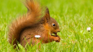 A red squirrel at Emo Court, Co Laois (Pic: Michael Carroll)