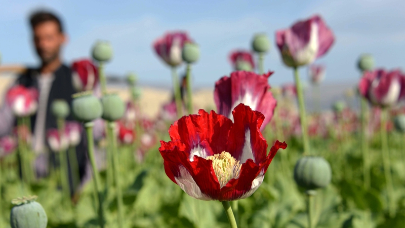 Scientists warn home brew heroin just years away illegal heroin is made from morphine extracted from opium poppies mightylinksfo