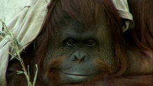 The orangutan named Sandra has spent her entire life in captivity