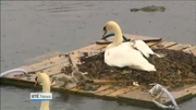 Nine News Web: Galway locals install rafts to assist cygnets