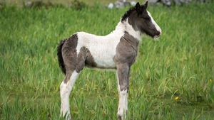 A foal in Loughrea, Co Galway (Pic: Larry Morgan)