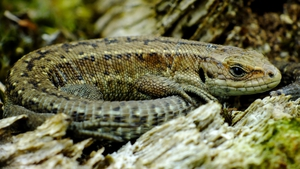 A common lizard in Raven Point, Co Wexford (Pic: Pat Somers)