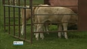 Nine News Web: Surge in milk productions following abolition of milk quotas