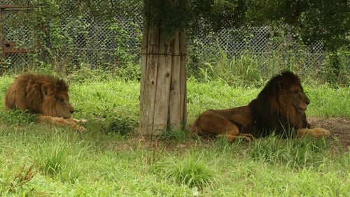 Escaped bear shot; lions, tigers and jaguar recaptured at German zoo