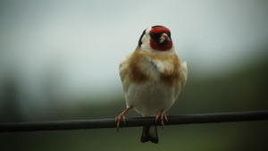 A goldfinch spotted in Ballybay, Co Monaghan (Pic: James Flanagan)