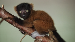The lemurs' births are of great importance to the international breeding programme to protect the species Photo: Patrick Bolger