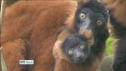 Six One News Web: Dublin Zoo celebrating the birth of red-ruffed lemur babies