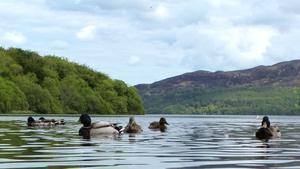 Ducks swimming in Lough Gill, Co Sligo (Pic: Donagh McSharry)