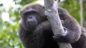 The chimps are the first to provide serious data about how much alcohol can be consumed in the wild