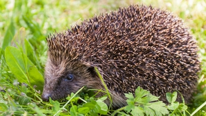 A hedgehog spotted in Co Wicklow (Pic: Siobhan English)