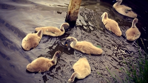 Cygnets spotted in the pond at Skerries Mill, Co Dublin (Pic: Bernard Gillespie)