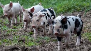 Newborn piglets in Co Roscommon (Pic: Trevor Dubber)