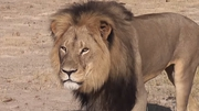 Cecil was lured out of the park he was living in using bait and was shot with a crossbow (Pic: Bryan Orford/YouTube)