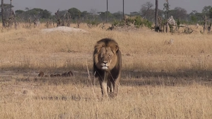 International outcry over death of Cecil the lion