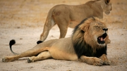 Cecil the lion was part of a long-term Oxford University conservation study