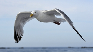 The gull in question is believed to have been a great black-backed gull