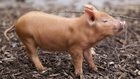 Eleven Tamworth piglets arrive at Dublin Zoo