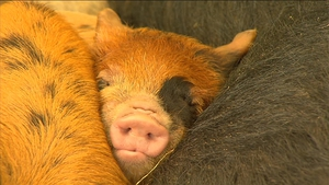 A pig takes a nap as crowds walk by