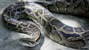 Police arrived on scene to see man not breathing with the snake wrapped around his head and neck