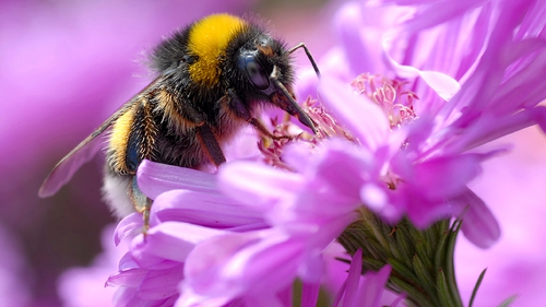 The bumblebee at work