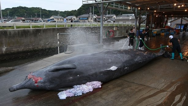Japanese fishermen process a whale for its meat