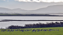 Brent geese at Maree in Co Galway (Pic: Liam Hanniffy)