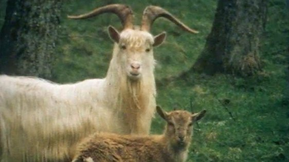 Wild Goats in Fermanagh (1976)