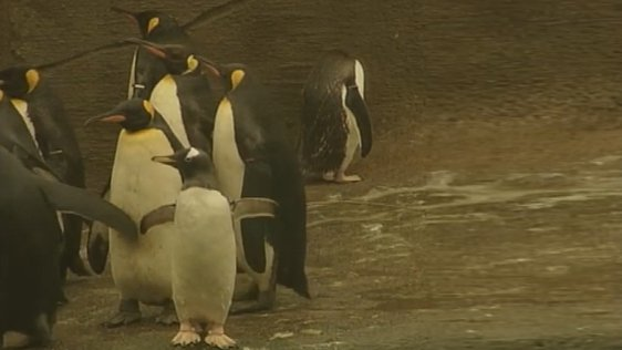Penguins at Belfast Zoo (2001)