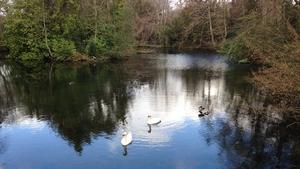 Wild swans at Marley Park, Rathfarnham (Pic: Anne-Marie Mulhall)