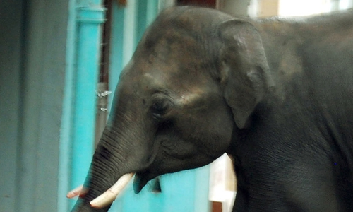An elephant involved in a fatal attack in India in 2011