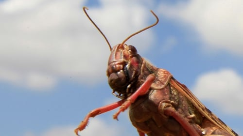 Adult desert locusts are able to patch up breaks with remarkable efficiency
