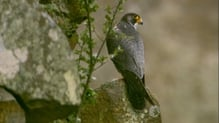 A pair of falcons had reportedly been nesting in the area