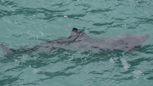 Basking sharks can grow to 10m