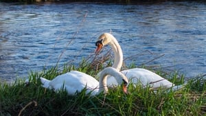 Two swans by the Shannon in Plassey, Limerick (Pic: Denis Hickey)