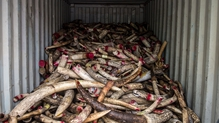 A huge pile of tusks was pulverised before being incinerated