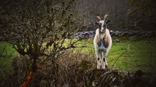 Goats help in upkeep of historic graveyard