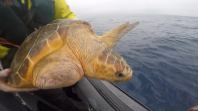 LÉ Róisín drops rescued turtles into the ocean